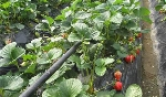 beplay2网址水肥一体草莓beplay2网址