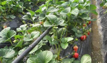 万博体育官网登录注册水肥一体草莓滴灌