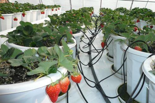 万博体育官网登录注册大棚草莓滴灌